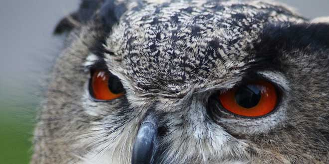 10 curiosidades sobre los búhos