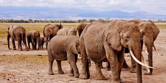 El hombre que mató 40.000 elefantes por equivocación