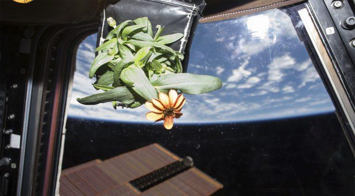 La flor espacial: la primera flor crecida en el espacio