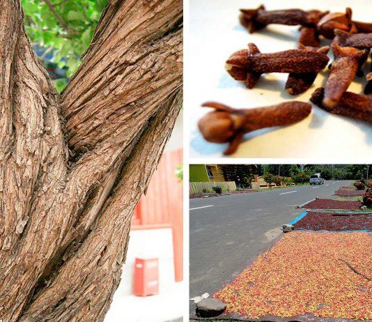 La increíble historia del árbol de clavo de Indonesia