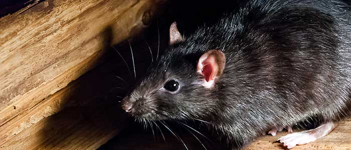 pulga de la rata negra
