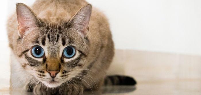 que saber antes de adoptar un gato