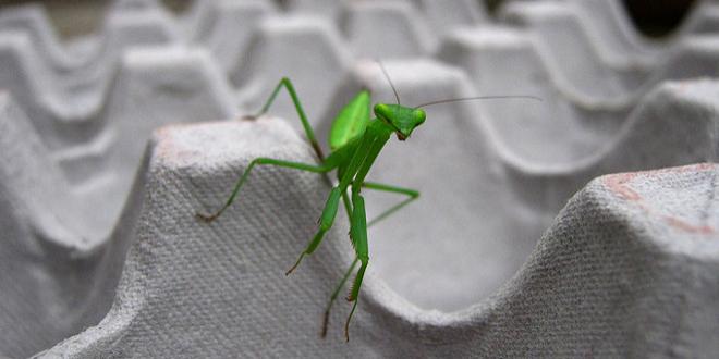 Por qué las mantis macho quieren ser devoradas tras el sexo