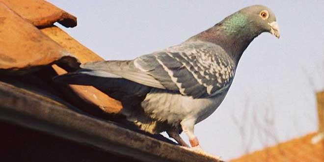 Winkie, la paloma que salvó un avión en la 2ª Guerra Mundial