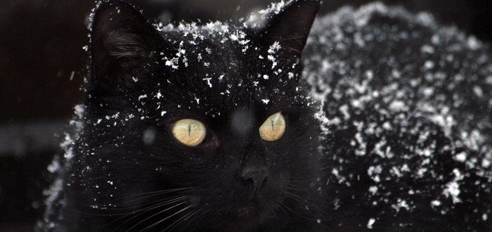 curiosidades de los gatos, gato negro