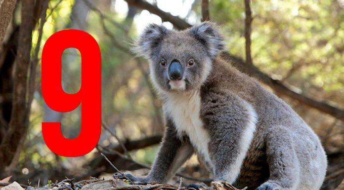 9 curiosidades sobre los koalas que desconocías - Supercurioso