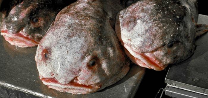 pez borrón, Peces borrón pescados