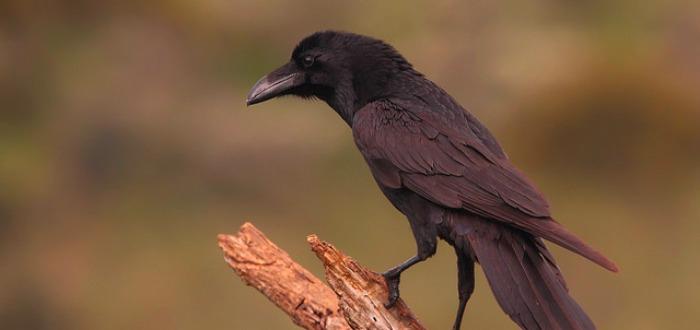 ¿Cómo es el oído de un cuervo? Inesperado