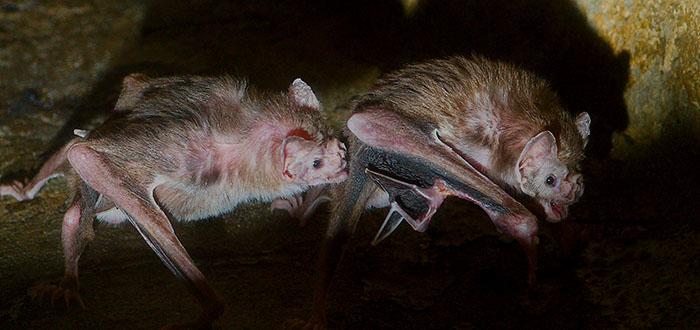 Este murciélago ha cambiado su dieta y ha empezado a alimentarse de sangre humana