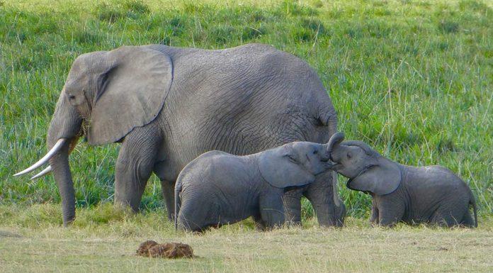 ¿Por qué los elefantes casi nunca enferman de cáncer?
