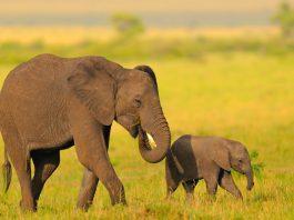 Las abuelas elefante también son muy importantes, ¡descubre por qué!