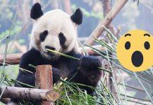 La razón tras el pelaje blanco y negro de los pandas