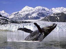 enfriar el ártico ballena