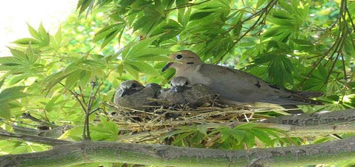 ¿Por qué nunca vemos crías de paloma o pichones?