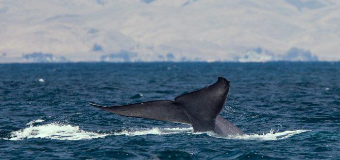¿Cómo llegaron a ser tan grandes las ballenas? Esta es la teoría