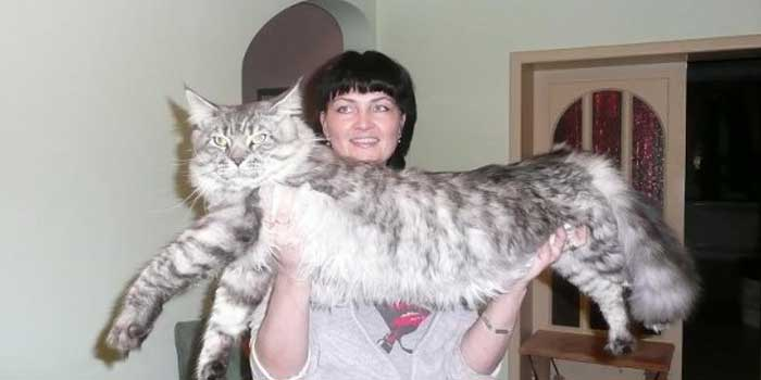 Omar, el gato más grande del mundo