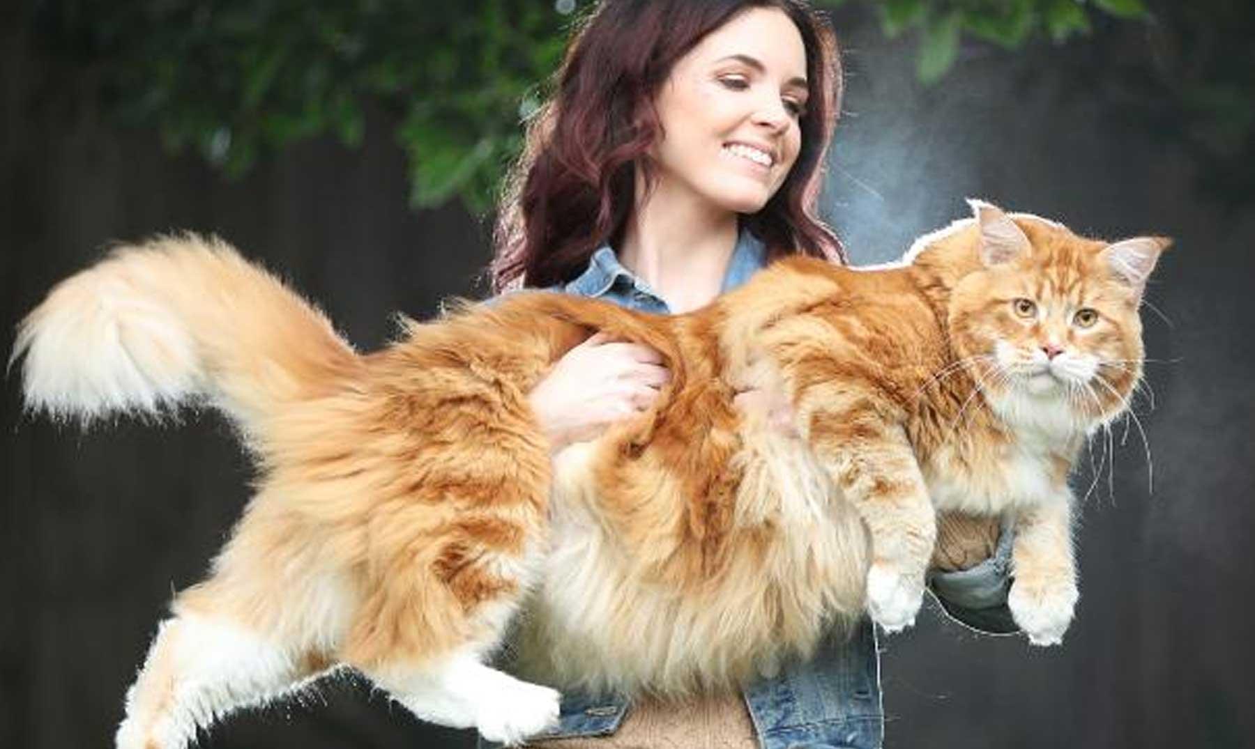 el gato mas grande del mundo