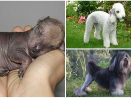 5 de las razas de perros más extrañas del mundo