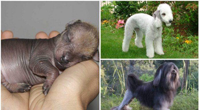 5 de las razas de perro más extrañas del mundo