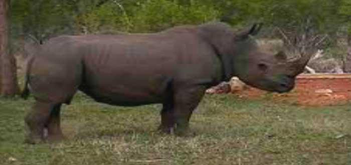 Rinoceronte Negro Occidental, animales extintos