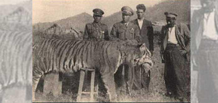 tigre del caspio, cazado, animales extintos