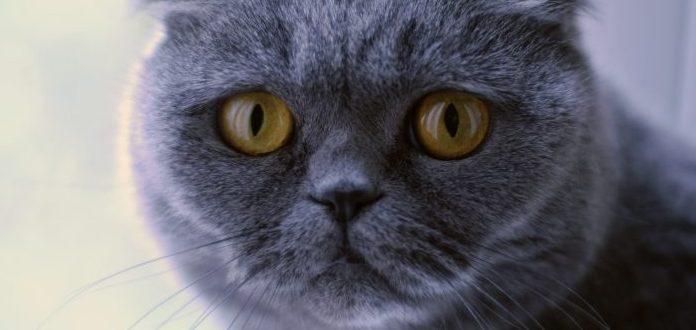 Gatos de diseñador, las más exclusivas y polémicas razas de felinos