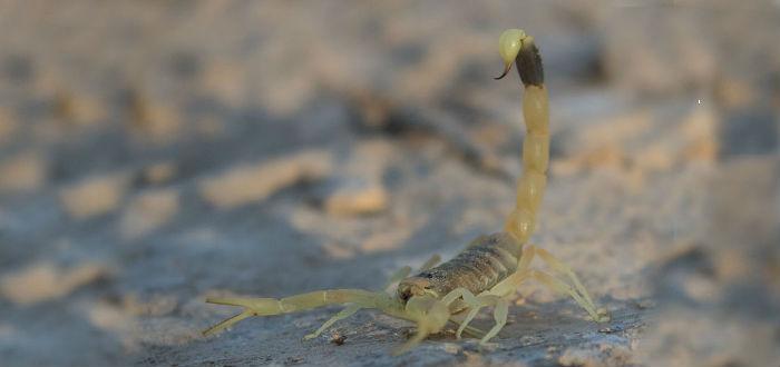 escorpion amarillo palestino venenos de animal