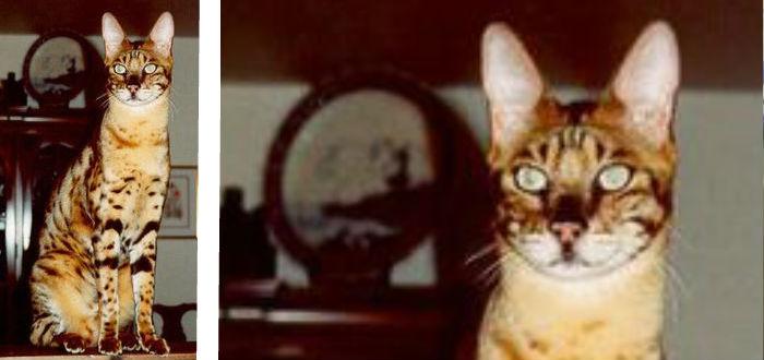 gato de savannah