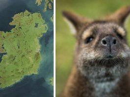 El misterio de la isla irlandesa habitada por canguros 1