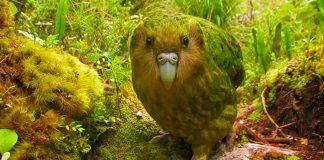 Este animal parece salido de una novela fantástica. ¿Conoces al Kakapo