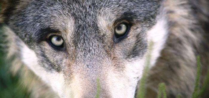 lobo, eclipses en la antigüedad, nórdico