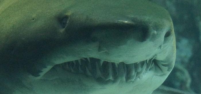 mitos sobre los tiburones, dientes