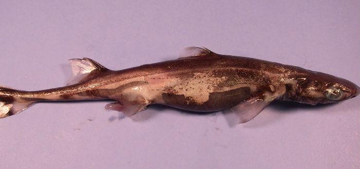 Tiburón linterna, mitos sobre los tiburones