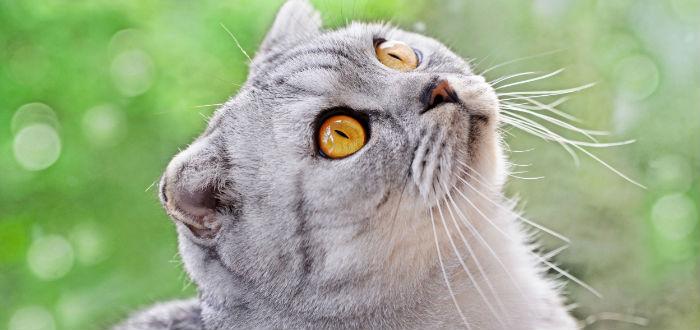 scottish fold, foto gatos de diseñador