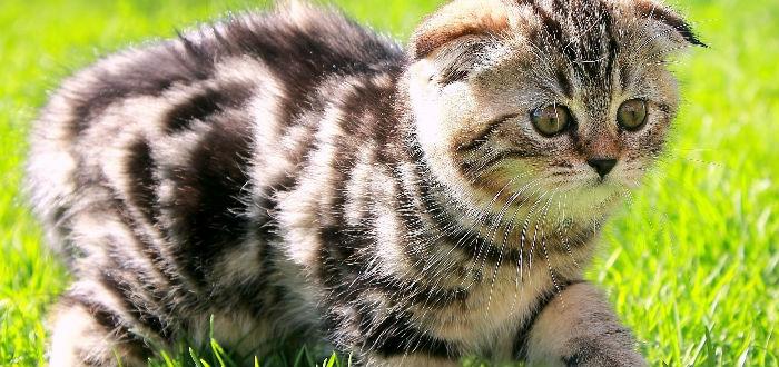 scottish fold, gatos de diseñador