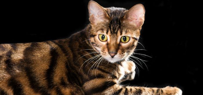 toyger gatos de diseñador