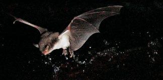 ¿Conocías a los sorprendentes murciélagos pescadores1