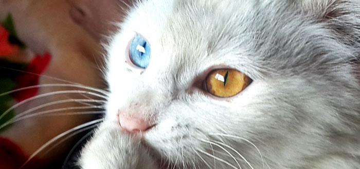 ¿Por qué algunas personas tienen un ojo de cada color?, gato