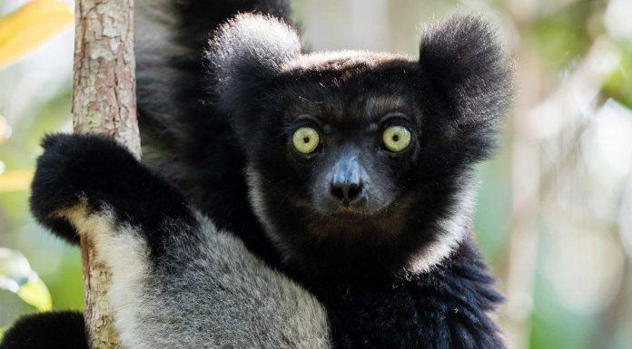 """¿Conoces al Indri indri? Su nombre significa """"Mira ahí"""""""