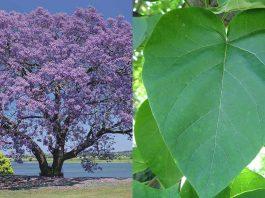 El Kiri, el árbol que puede combatir el cambio climático