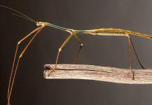 El insecto más largo del mundo criado por científicos chinos