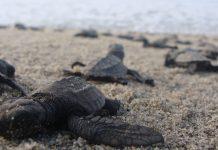 La especie mexicana de tortuga que ha sido salvada de una inminente extinción