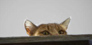 Los sorprendentes gatos espías entrenados por la CIA