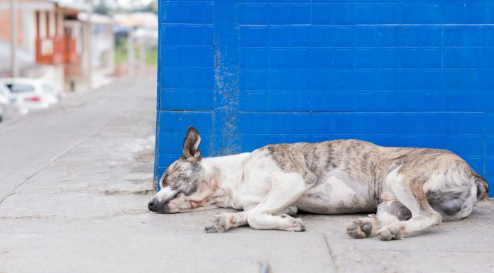 Los perritos intocables de Chernobyl afectados por la radiación