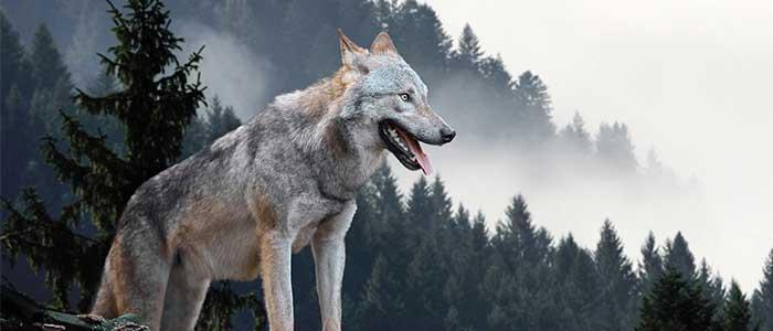 datos curiosos de los lobos
