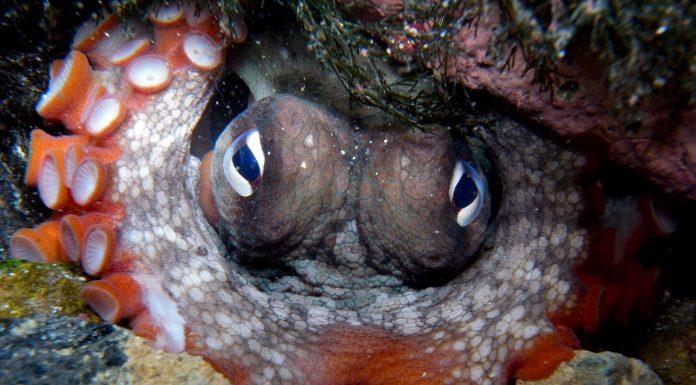 Biólogos hallan una sorprendente ciudad submarina de pulpos