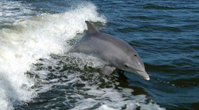 El mecanismo que desarrollaron los delfines hembra para protegerse de los machos