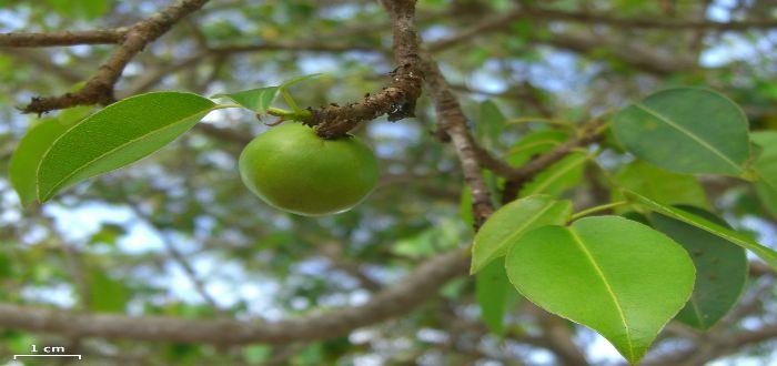 Hippomane mancinella, árbol de la muerte