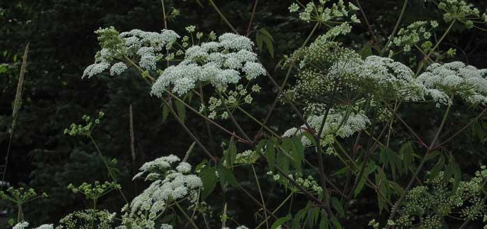 plantas más venenosas, cicuta maculata