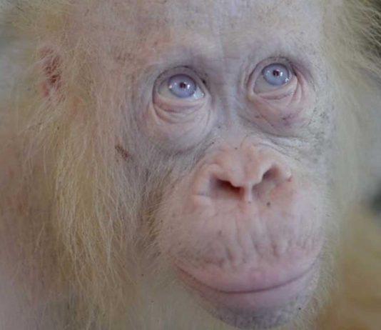"""Alba, la nueva """"Copito de nieve"""", la hembra albina de orangután en peligro"""